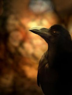 bird, the raven, raven heal, raven totem, raven magick, animal spirit crow, crow totem