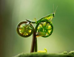 Macro photographer Eco Suparman was shocked when a praying mantis he was photographing jumped up onto a curled plant and looked just like he was pedaling away on a bicycle. (Eco Suparman/Caters News)