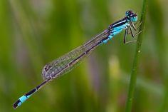 Ischnura elegans - dragonfly photo by Claudio Cavalensi