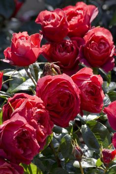 Rose problems: frequently asked questions   Royal Horticultural Society