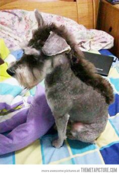 Schnauzer or donkey?  Schnonkey...