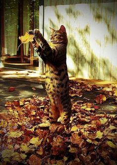 Cat playing with the autumn leaves, I love how cats are so focused when entertaining themselves. You can learn a lot from a cat, mindfulness - playfulness with the simplest of things.