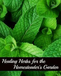 Growing herbs in a homesteaders garden.