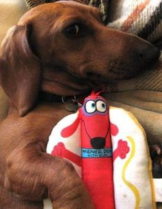 Doxie and favorite toy