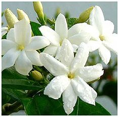 Jasmine - a lunar plant excellent for women's magick, moon magick and love spells