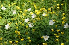 Celandine and wood anemone have been spotted in the Curbar area, Derbyshire, 27 March 2014.  Thanks to Charles Robinson for this shot.