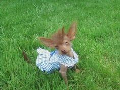 Our Chinese Crested hairless/Yorkie mix.. Pinkie!