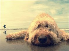 goldendoodle beach day.