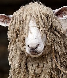Curly-top Cotswold Sheep