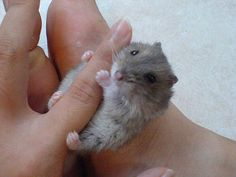 i usualy hate rodents, amphibians, reptiles you name it. if it is squirmy or jerks and twitches i want nothing to do with it, but these guys (dawrf Hamsters)are so lazy and fat and cuddly I want one so bad!!!!!!!!!