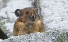 Pika in Rocky Mountain National Park > > Learn about Pikas in Peril