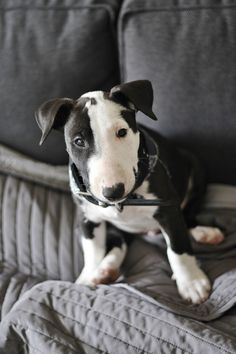 cute puppy by sparklepuf #Bull #Terrier #Dog #Dogs #Pet #Pets #Terriers #Animals #Funny #Cute #Puppies #Puppy #Pups