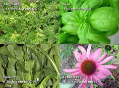 The Pharmacy in your Garden – The Hidden Medicinal History of Your Favorite Plants