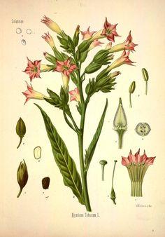 Nicotiana tabacum (Tabaco)