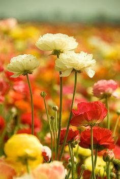 Field of carnations
