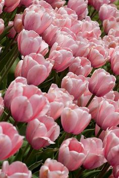 Tulip Time Festival by KarrieChantel | Ring the Bellboy Inspiration
