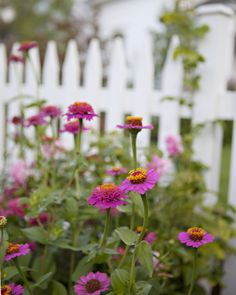 Zinnias and picket fence