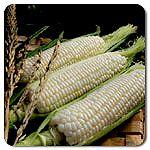 Organic Sugar Pearl F1 Hybrid Corn