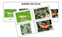 color sequence cards for butterfly lifecycle