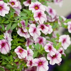 Calibrachoa -trailing flower for window boxes.  Butterflies/hummingbirds like it in pink and red!