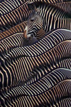 Grevy's Zebras Samburu, Kenya