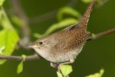 House wrens are little birds with big voices. Here's how to coax a pair to nest in your yard.   Xplor