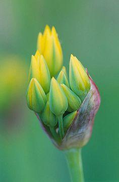 ~~ emerging buds of allium moly ~~
