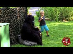 Hungry Gorilla Attack Prank - An old lady complains to some good samaritans that a naughty kid is throwing banana peals on hear head from behind the bush. When the victims investigate they are suddenly attacked by a scary gorilla eating just hanging around with his friend. - Make sure you subscribe to our #prank channel on @YouTube! www.youtube.com/gags