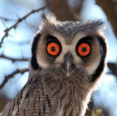 The Southern White-faced Scops Owl