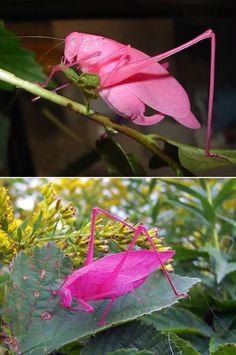 The rare pink katydid!