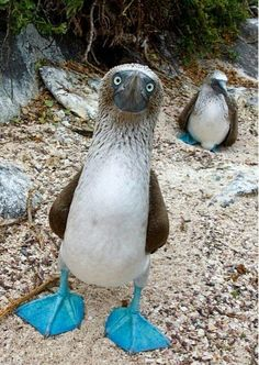 The Blue-footed Booby is one of the strangest birds in Galapagos and is the most commonly seen species of booby living on the Islands.