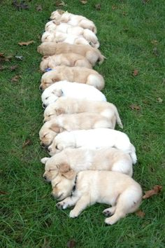 golden retriever litter in the park