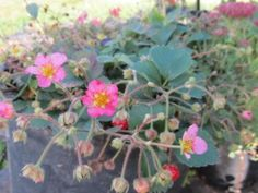 Pretty pink strawberries flowers fragaria