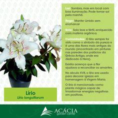 Lírio #flower #plants