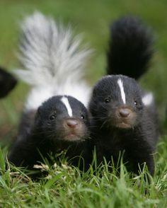 "Mazzy: ""STUNKS!"" Me: ""Skunks."" Mazzy: ""That's what I said. Peeee-ewwwww."" #mazzyspins anim, critter, skunks, pet, babi skunk, creatur, ador, thing, stinker"