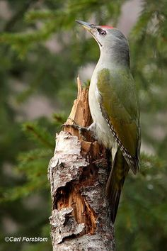The Grey-headed Woodpecker (Picus canus), also known as the Grey-faced Woodpecker, is a Eurasian member of the woodpecker family Piciformes.