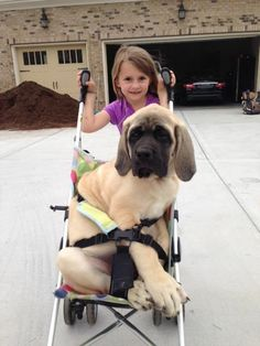 funny animals, little girls, dogs, animal funnies, funny animal pictures, funny pictures, puppi, walk, kid
