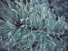 An evergreen branch encrusted in ice crystals.