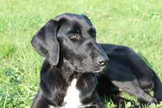PAPAYE, X Labrador, est un chien d'une extrême gentillesse Association CAUSA(Creuse)