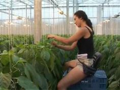 how to grow tomato hydroponicly under high technology greenhouse.