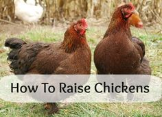 How to raise chickens - Podcast!