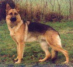 dogs, pet, beauti, german shepherds, german shepard, anim lover, friend, gsd, thing