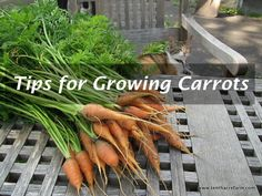 Carrots can present a challenge to the home gardener, but offer sweet rewards for a job well done. Good things to know and tips for growing carrots.