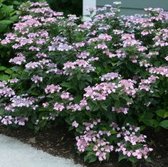 Tiny Tuff Stuff™ Mountain Hydrangea - 2' x 2', ideal for small spaces in the garden or containers, blooms late spring to mid-fall with lacecap flowers, full sun or part shade