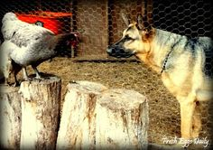 Training a Dog around Chickens ~ Fresh Eggs Daily