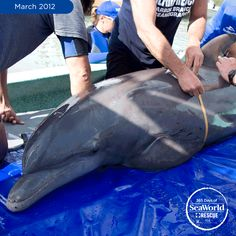 Discarded fishing gear = bad news for dolphins. Seymour here was found with fishing line wrapped around his tail. SeaWorld's rescue team freed him from the mess and returned him the same day! #365DaysOfRescue