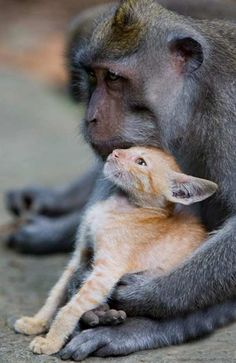 A Monkey Has Been Spotted Cradling a Ginger Kitten in an Indonesian Forest - amazing!