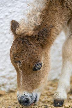 An adorable miniature pony<3