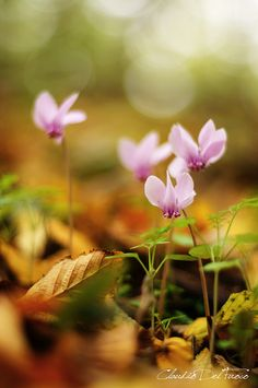 Cyclamen 3 | Flickr - Photo Sharing!