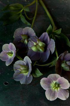 Purple Hellebores